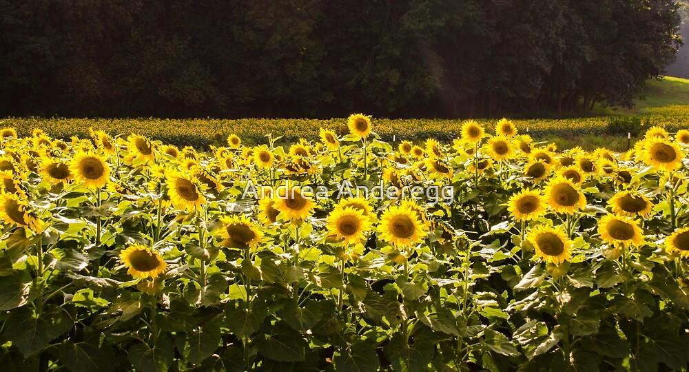 Sunflowers 5 by andreaanderegg