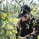 olive picking at Wilmot by gaylene