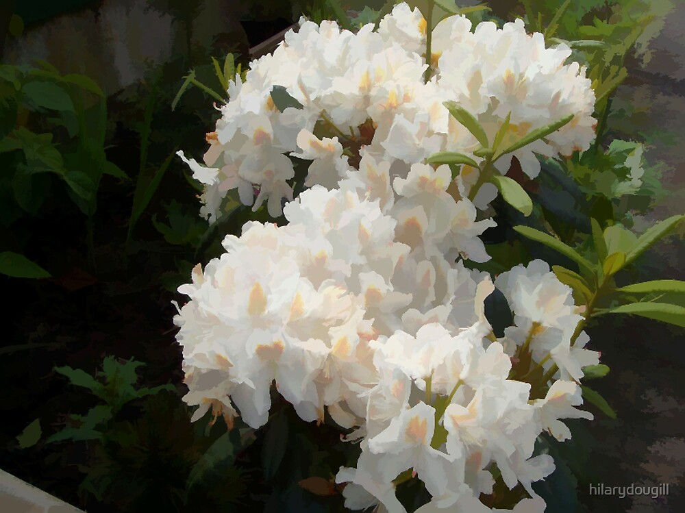 The whole bush of White Rhodie by hilarydougill