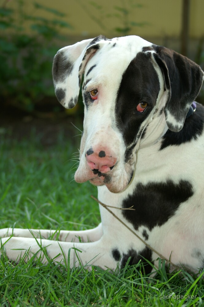 Great Dane Puppy by sachapacker
