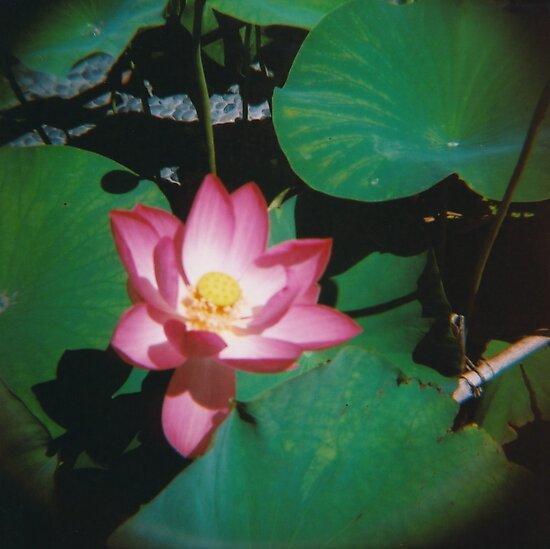 Lotus flower by Debja