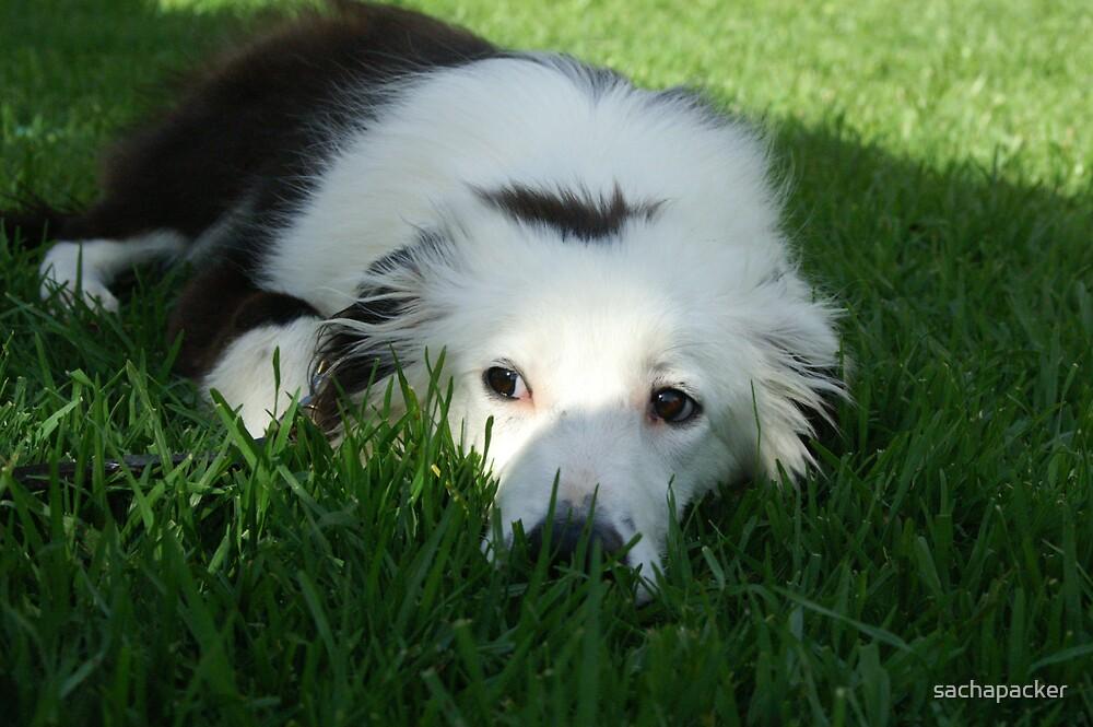 Border Collie Puppy by sachapacker