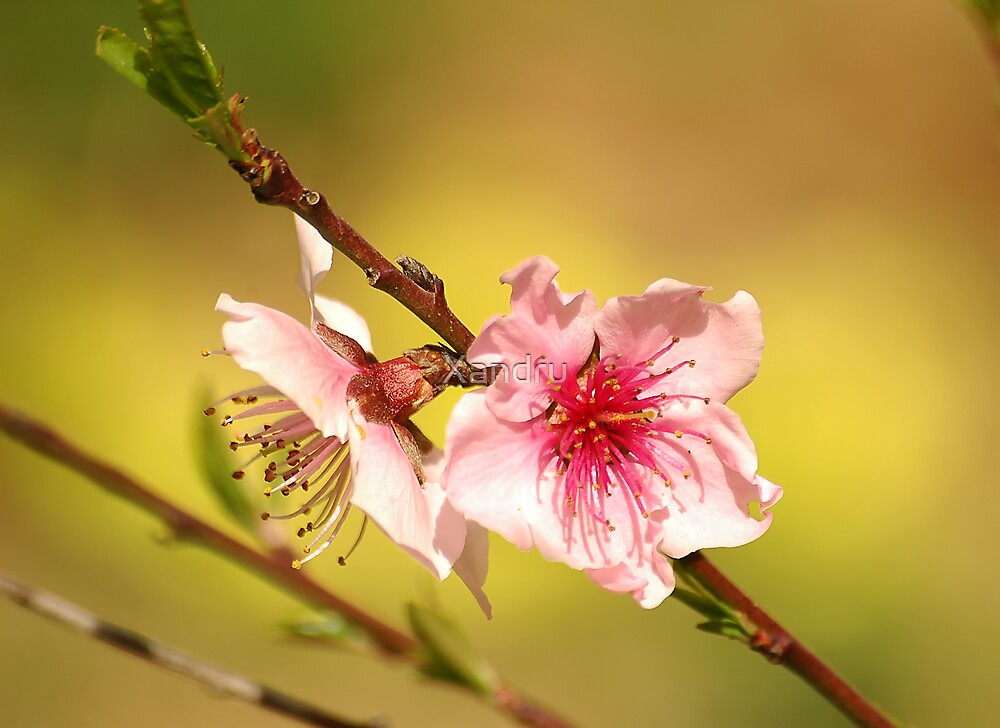 Peach Flower by Xandru