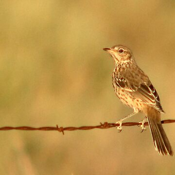 Sage Thrasher on Barbed Wire Fence by photoforyou