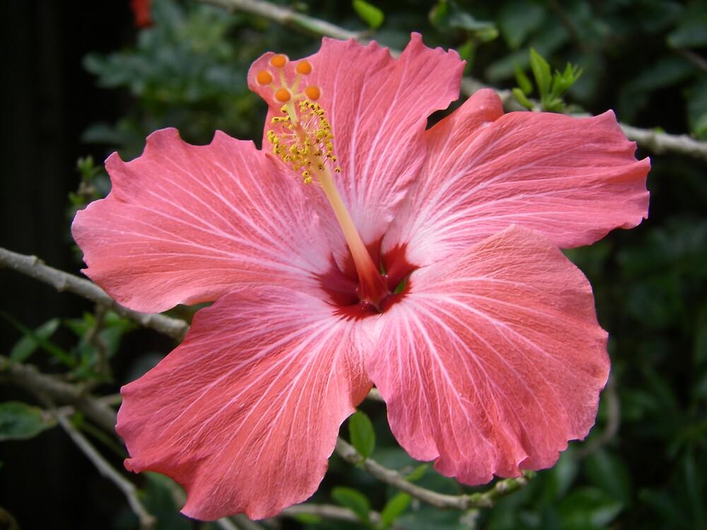 Pink Hibiscus  by derekmccrea