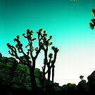 Joshua Tree by Rebecca Wachtel