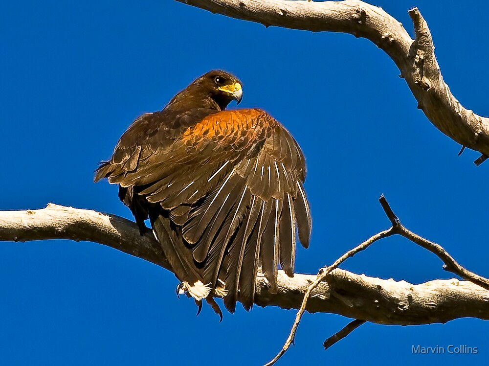Harris Hawk by Marvin Collins