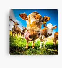 Cow having a lick Canvas Print