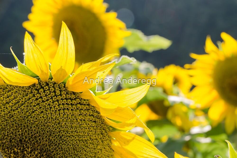 Sunflowers 8 by andreaanderegg