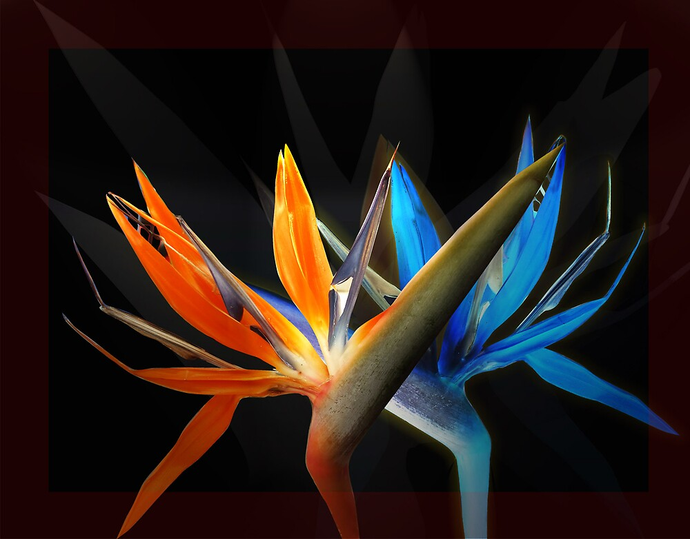 Birds of paradise dance by Gabriel Popa