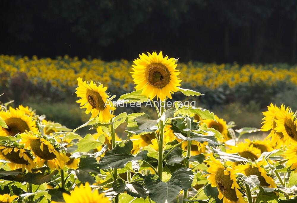 Sunflowers 9 by andreaanderegg