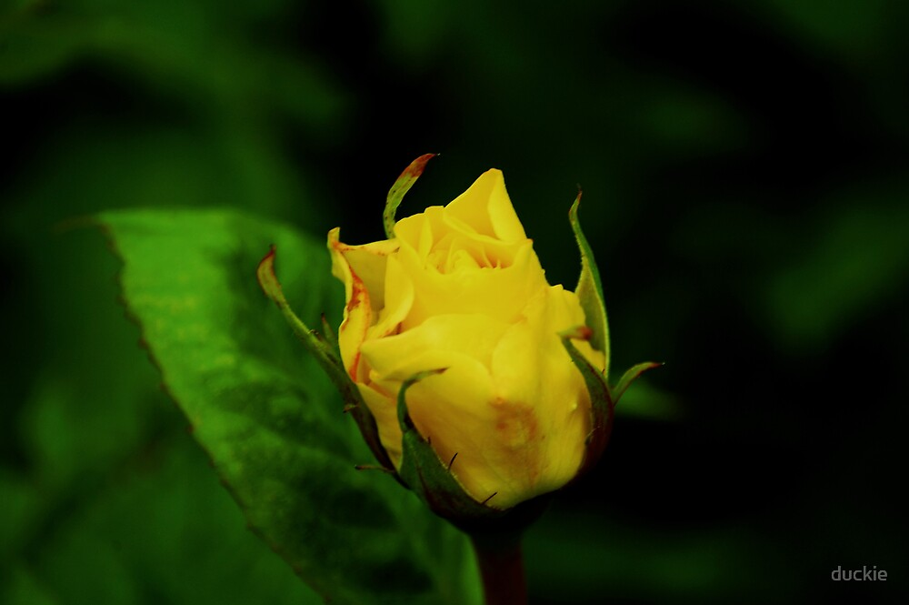 yellow rose bud by duckie