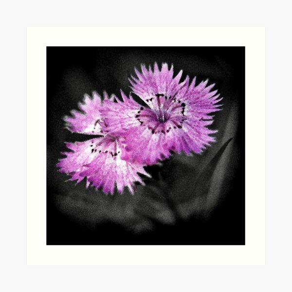 Dianthus Art Print
