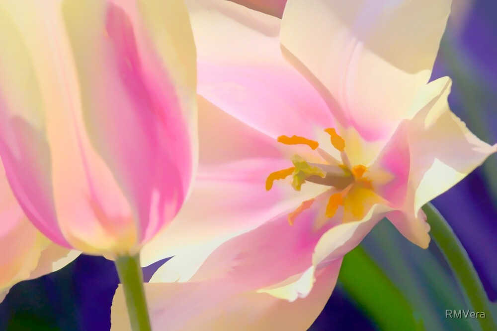 Pink and White Tulips in the Spring by RMVera