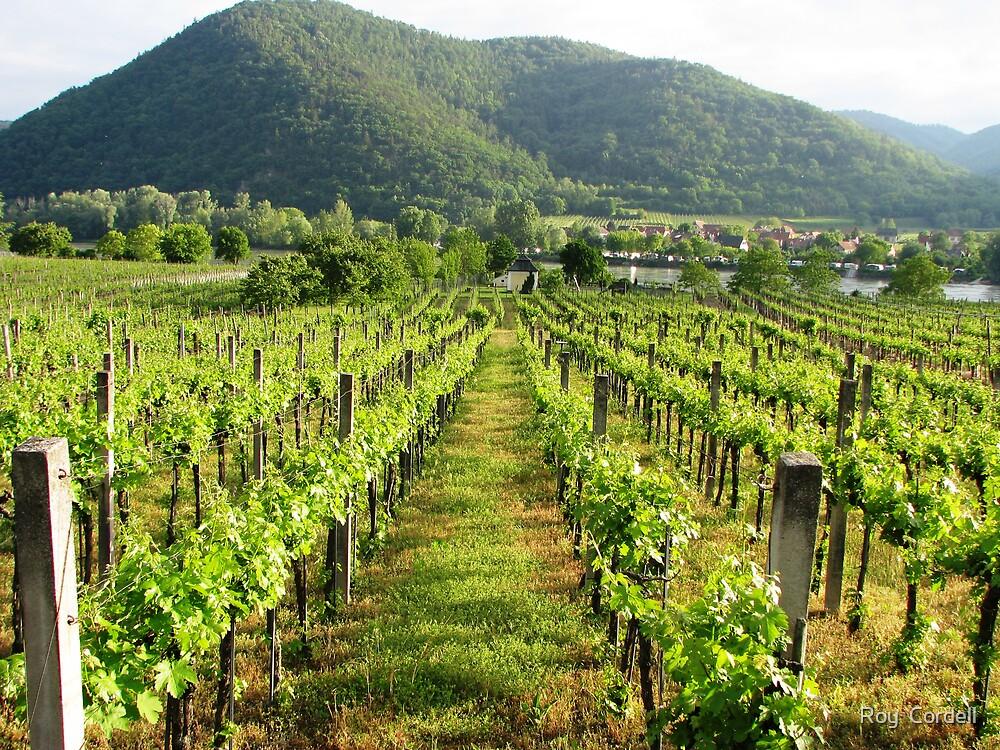 Wachau Vineyard  by Roy  Cordell