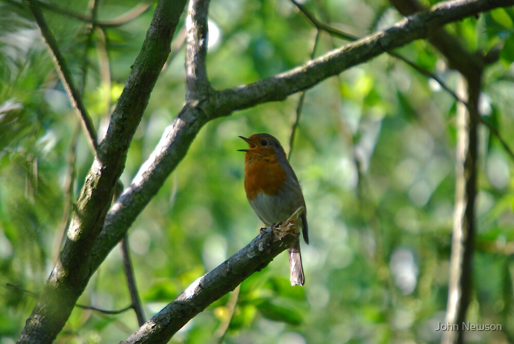 Sining Robin In Tree by John Newson