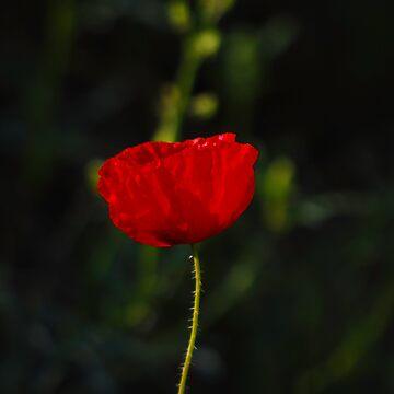 Poppy by Jdn1000