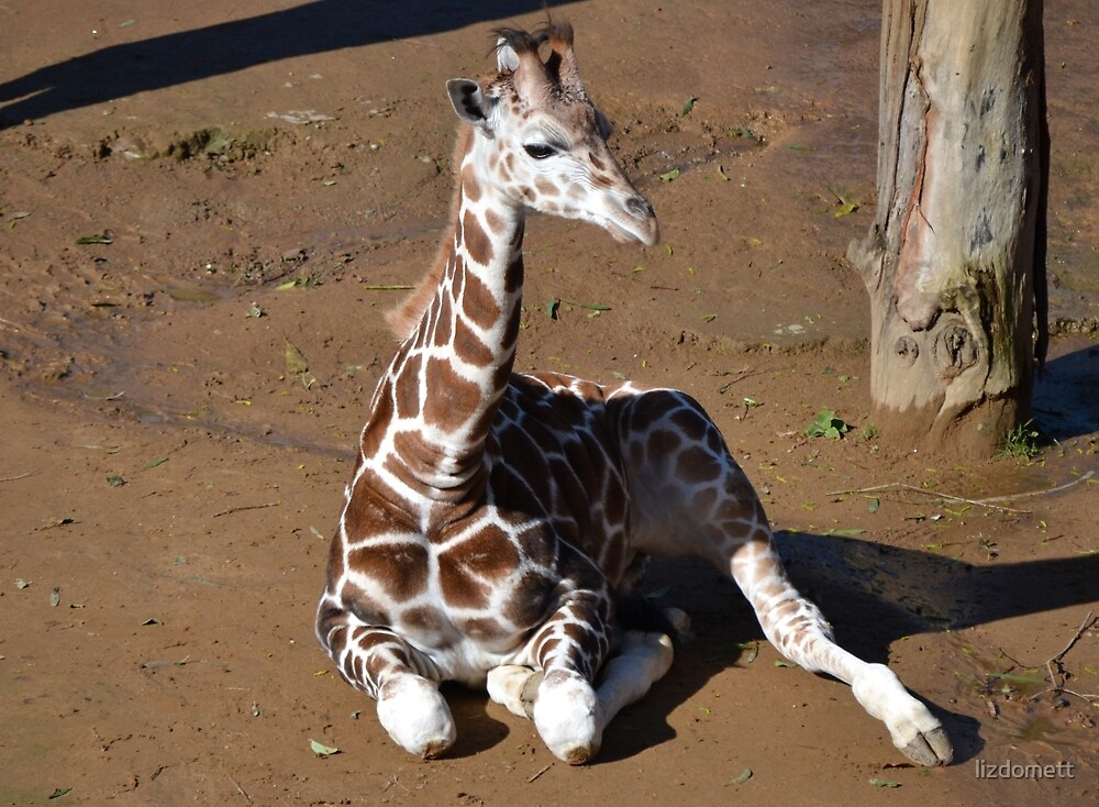 Baby Giraffe by lizdomett