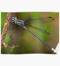 Archilestes grandis  (Great Spreadwing damselfly) Poster