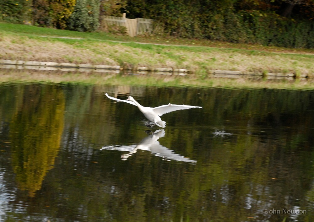 Swan Landing on River Cam in Cambridge by John Newson