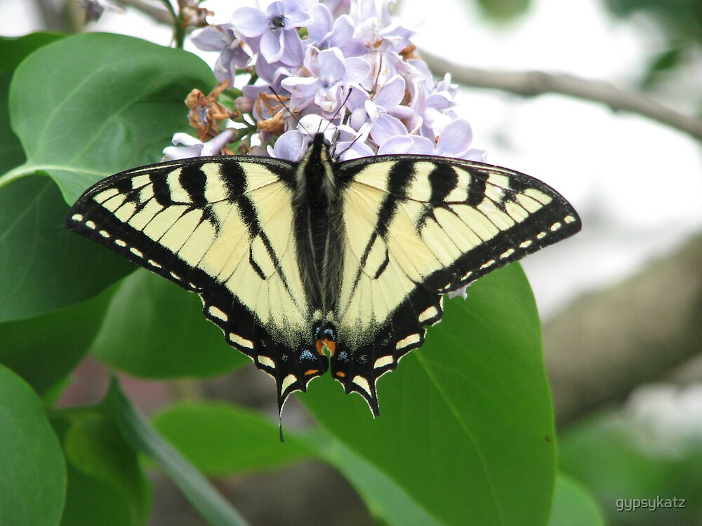 Butterfly    by gypsykatz
