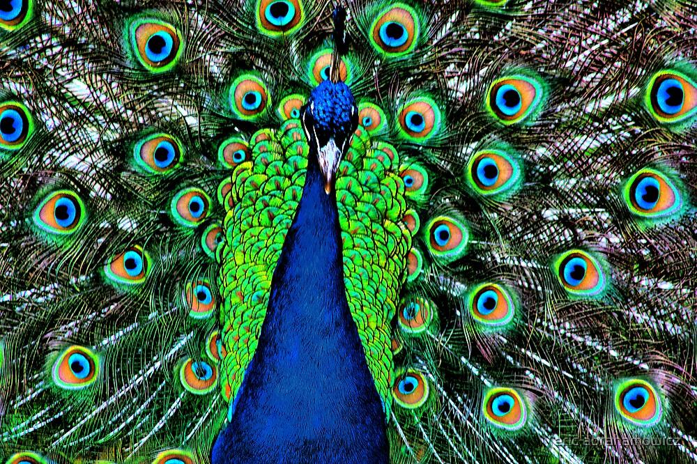 peacock closer look by eric abrahamowicz