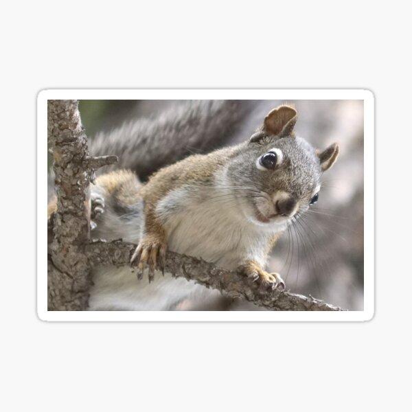 Pine Squirrel Sticker