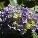 Hydrangea by christiane