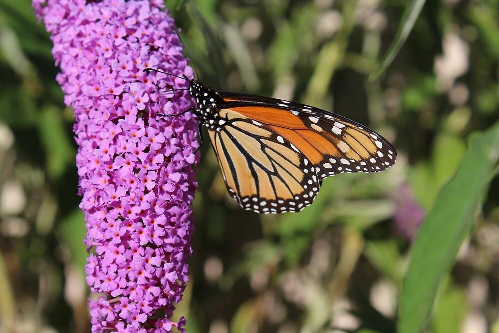 Monarch Butterfly by Grace Jane