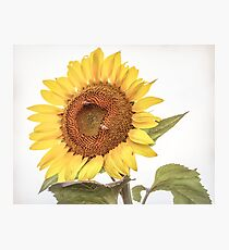 Sunflowers 10 Photographic Print
