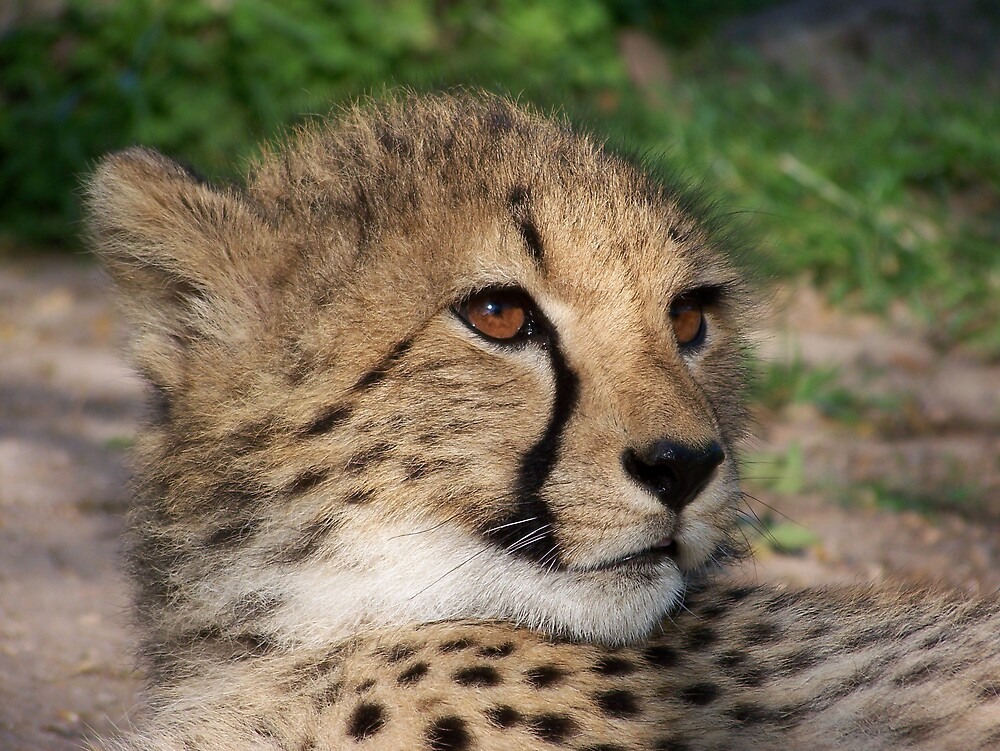 Cheetah by skurm002