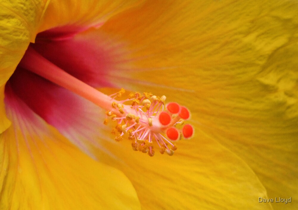 Yellow Hibiscus by Dave Lloyd