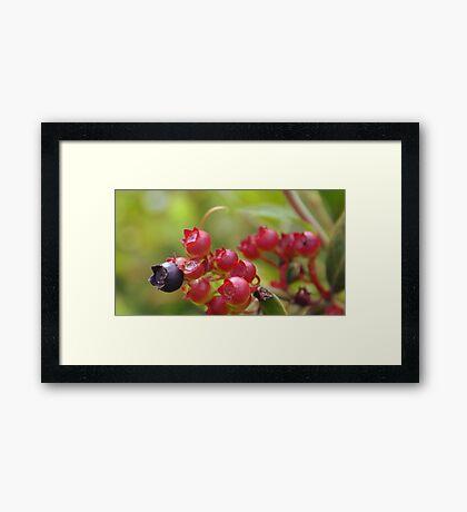 Red Blueberries Framed Print