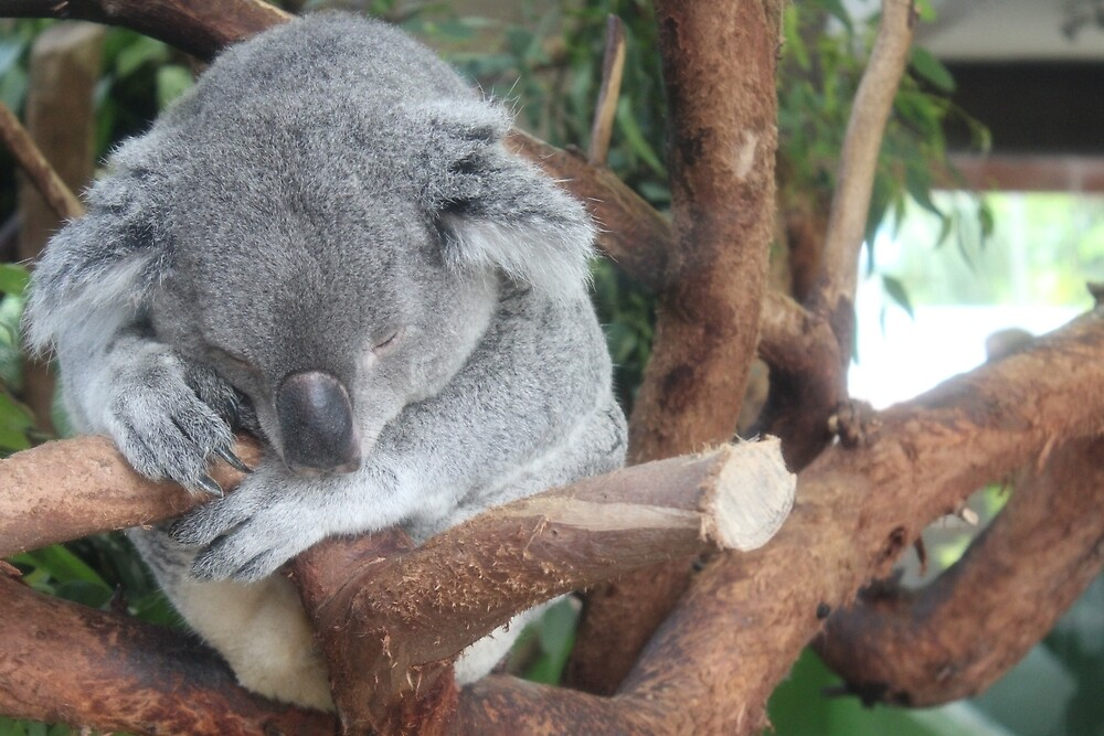 Koala by Grace Jane