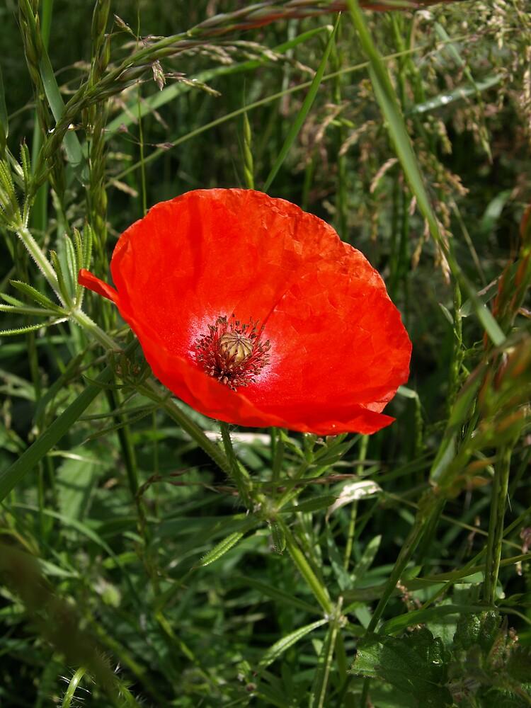 poppy by makpics