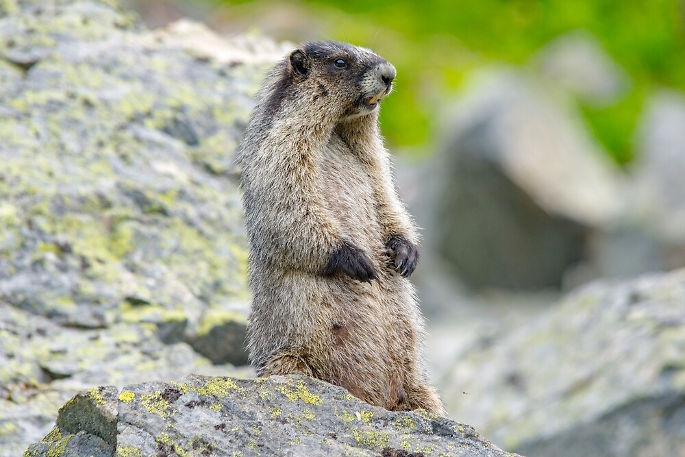 Rocky mountain  marmot  by RevelstokeImage