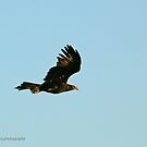 Wedge-tailed Eagle (840) by Emmy Silvius