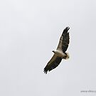 White-bellied Sea Eagle (236) by Emmy Silvius
