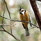 Eastern Spinebill (604) by Emmy Silvius