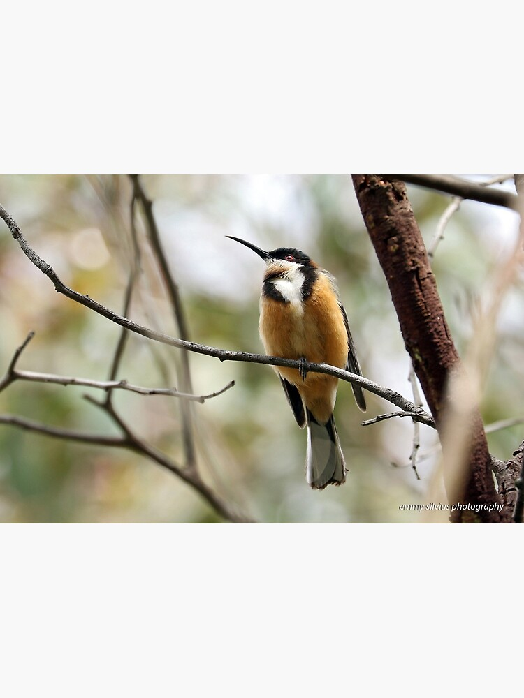 Eastern Spinebill (612) by OzNatureshots