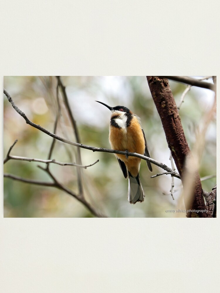 Alternate view of Eastern Spinebill (612) Photographic Print