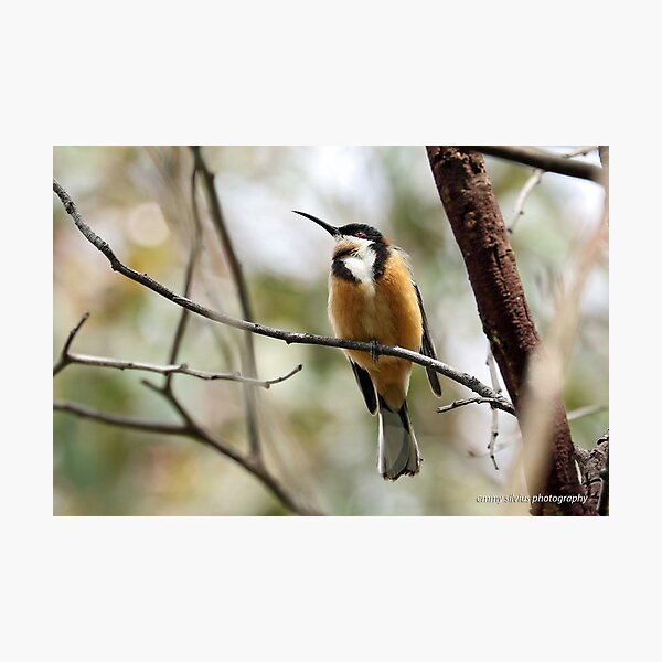 Eastern Spinebill (612) Photographic Print