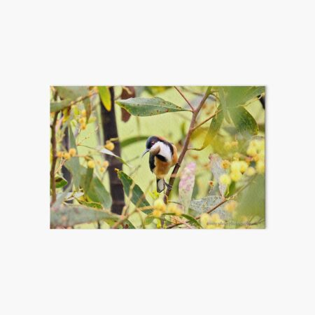 Eastern Spinebill (6071) Art Board Print