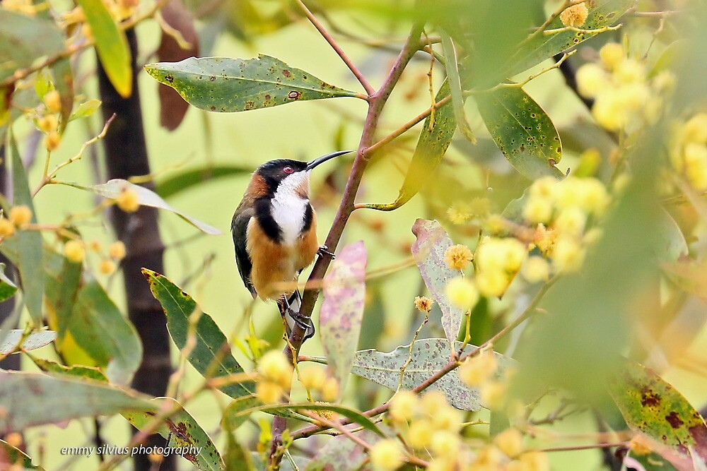 Eastern Spinebill (6080) by Emmy Silvius