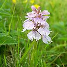 heath spotted orchid by NordicBlackbird