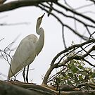Eastern Great Egret (4559) by Emmy Silvius