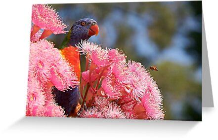 The Bird, the Bee and the Gum Blossoms ~ Rainbow Lorikeet by Robert Elliott