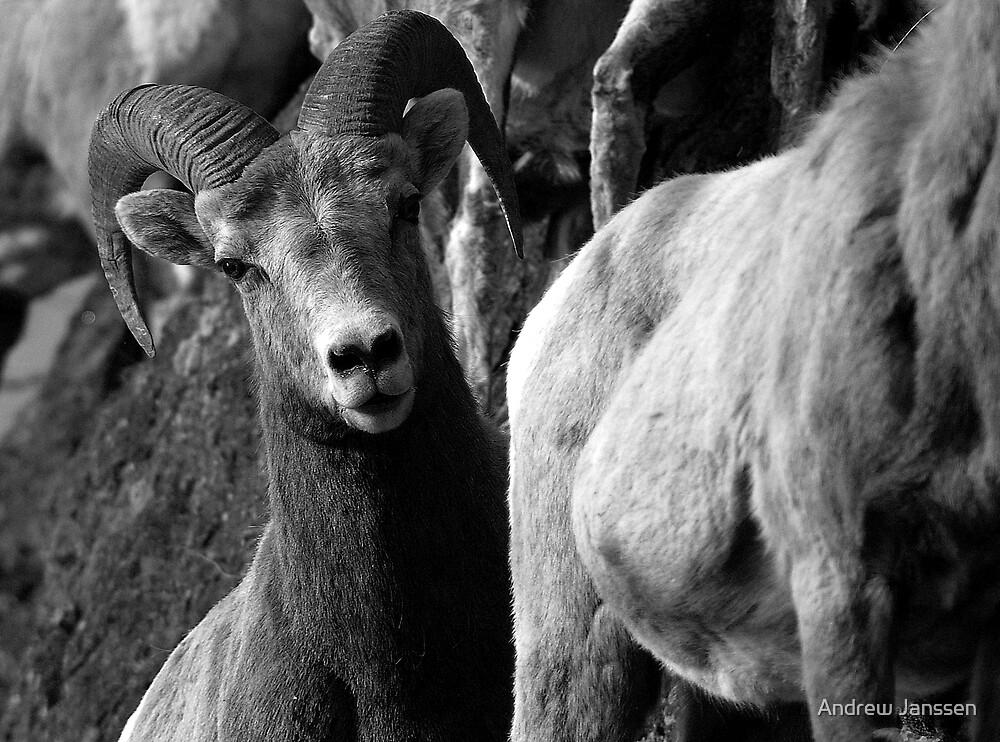 Ram by Andrew Janssen