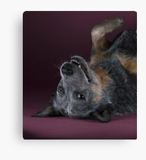 Australian cattle dog Gips. Print version Adobe-RGB Canvas Print