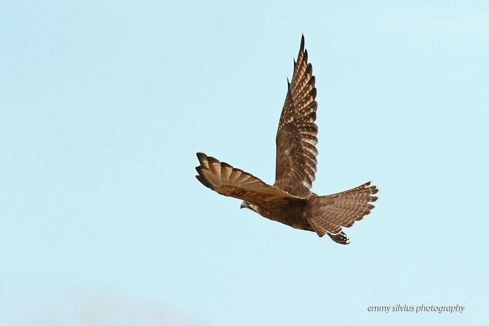 Brown Falcon (375) by Emmy Silvius